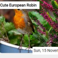 Cute European Robin Jigsa…