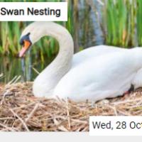 Swan Nesting Jigsaw
