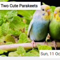 Two Cute Parakeets Jigsaw