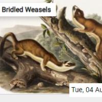 Bridled Weasels Jigsaw