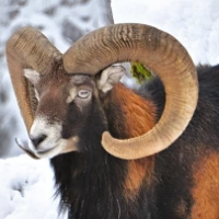 Mouflons In The Snow