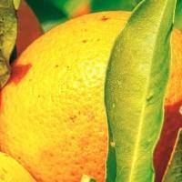 Fresh, Ripe Oranges