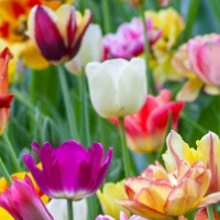 Colorful Tulip Garden