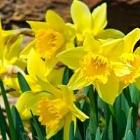 Beautiful Yellow Daffodil…