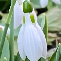Beautiful Snowdrops