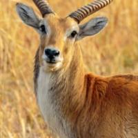 Lechwe Antelope